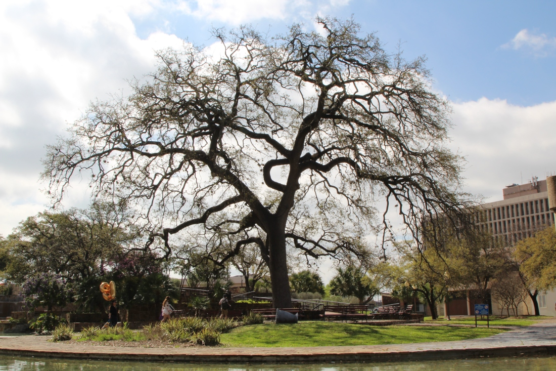 Live Oak in Hemisfair Park